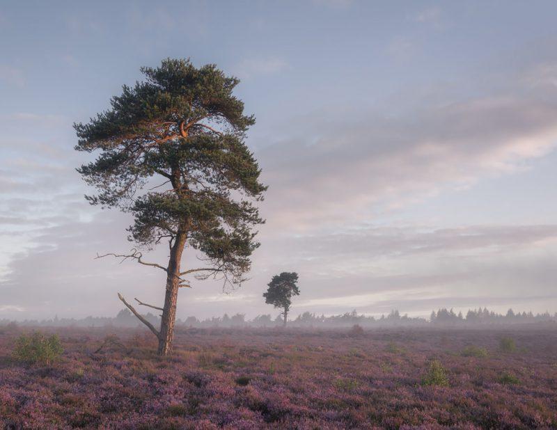 Moorland Pine II