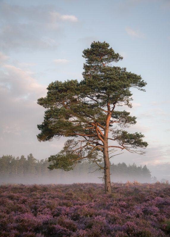 Moorland Pine