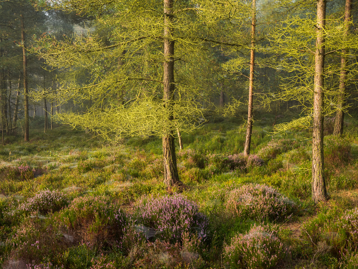 Heather Woodland in North Yorkshire