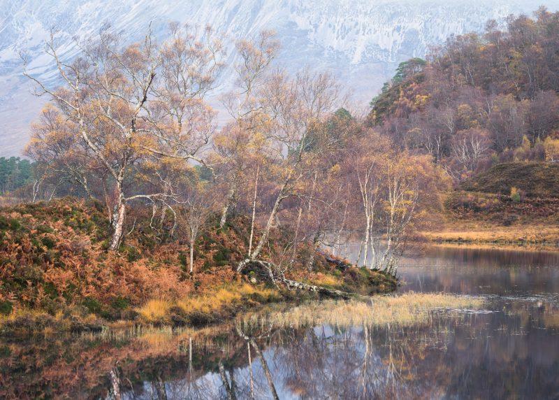 Mountain Birch