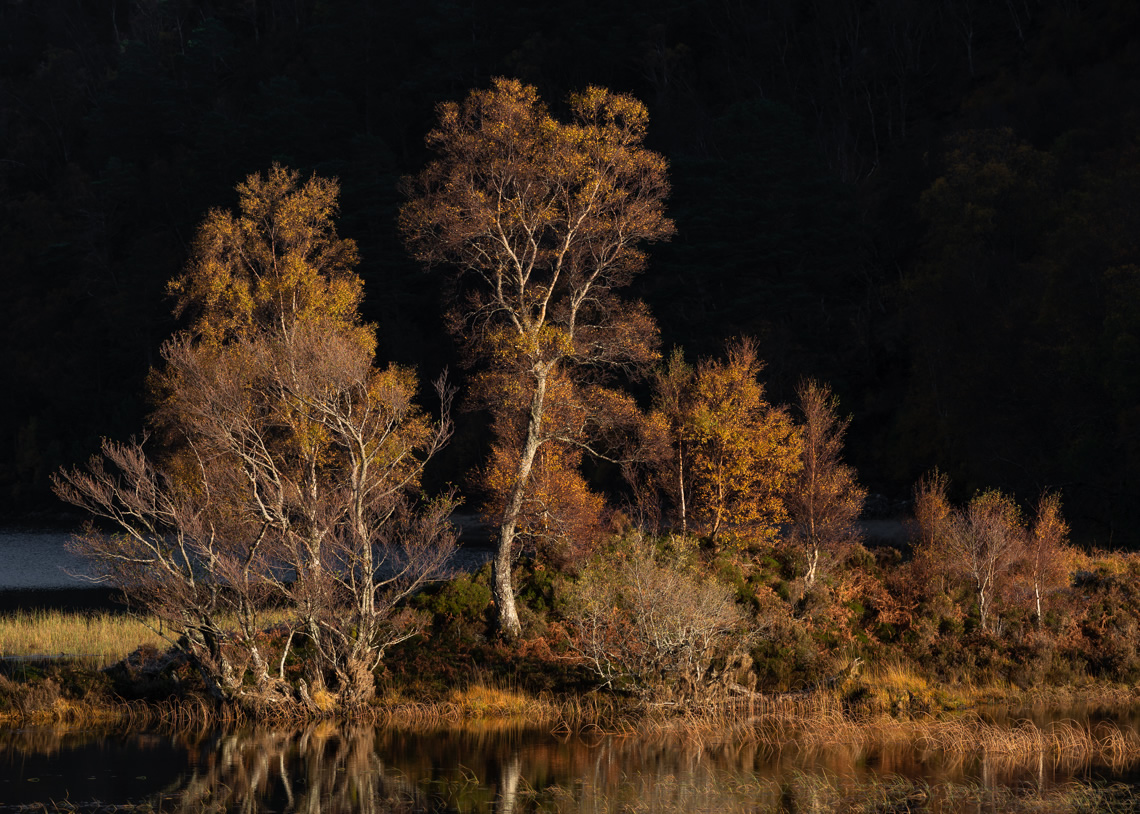 Autumn Birch in Scotland
