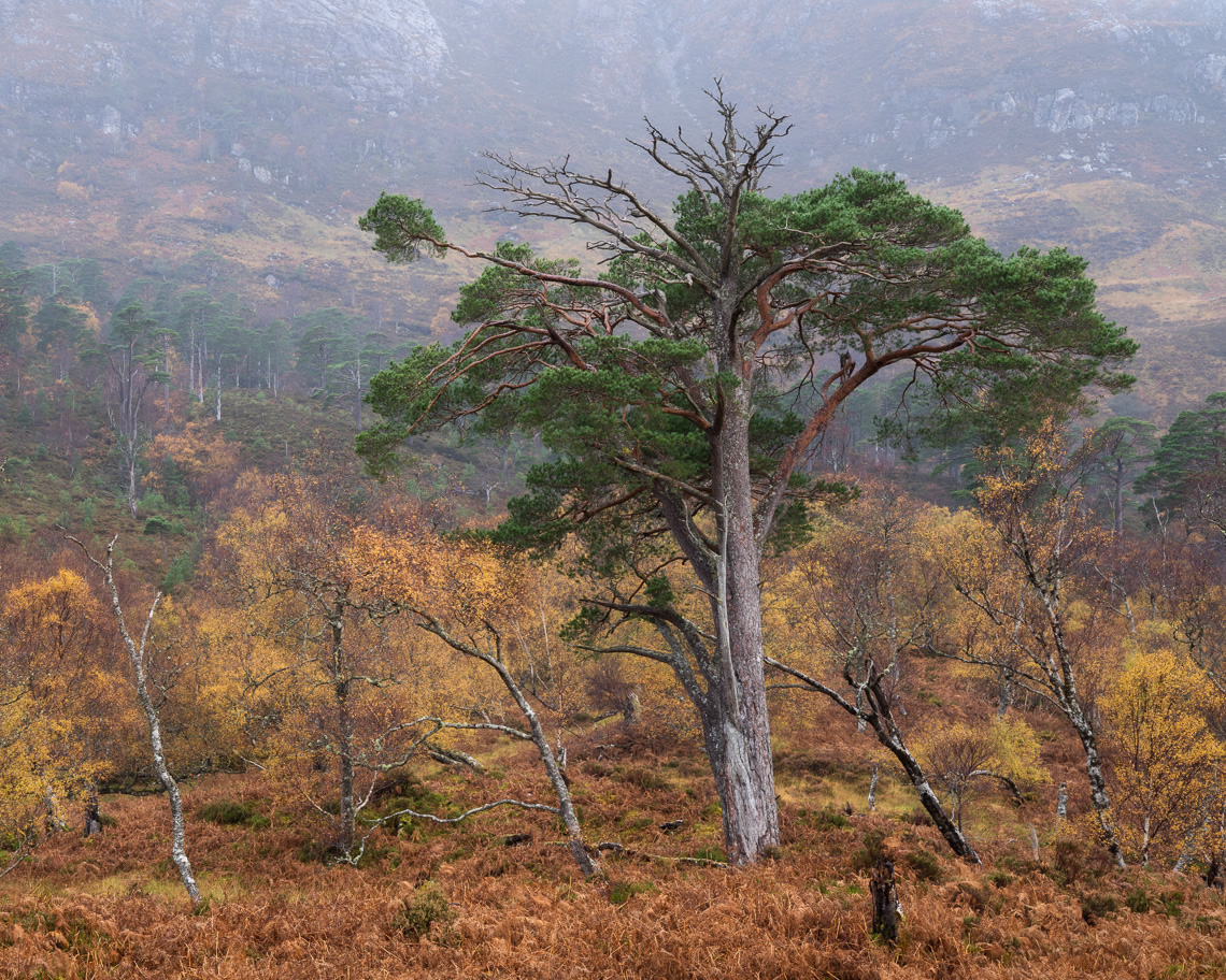 Scots pine and silver bitch in autumn