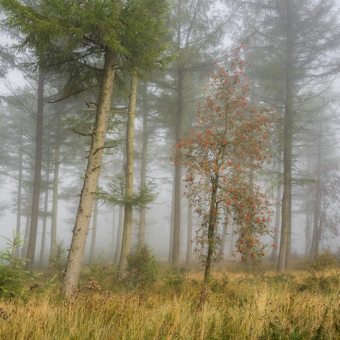 Early autumn rowan tree berries