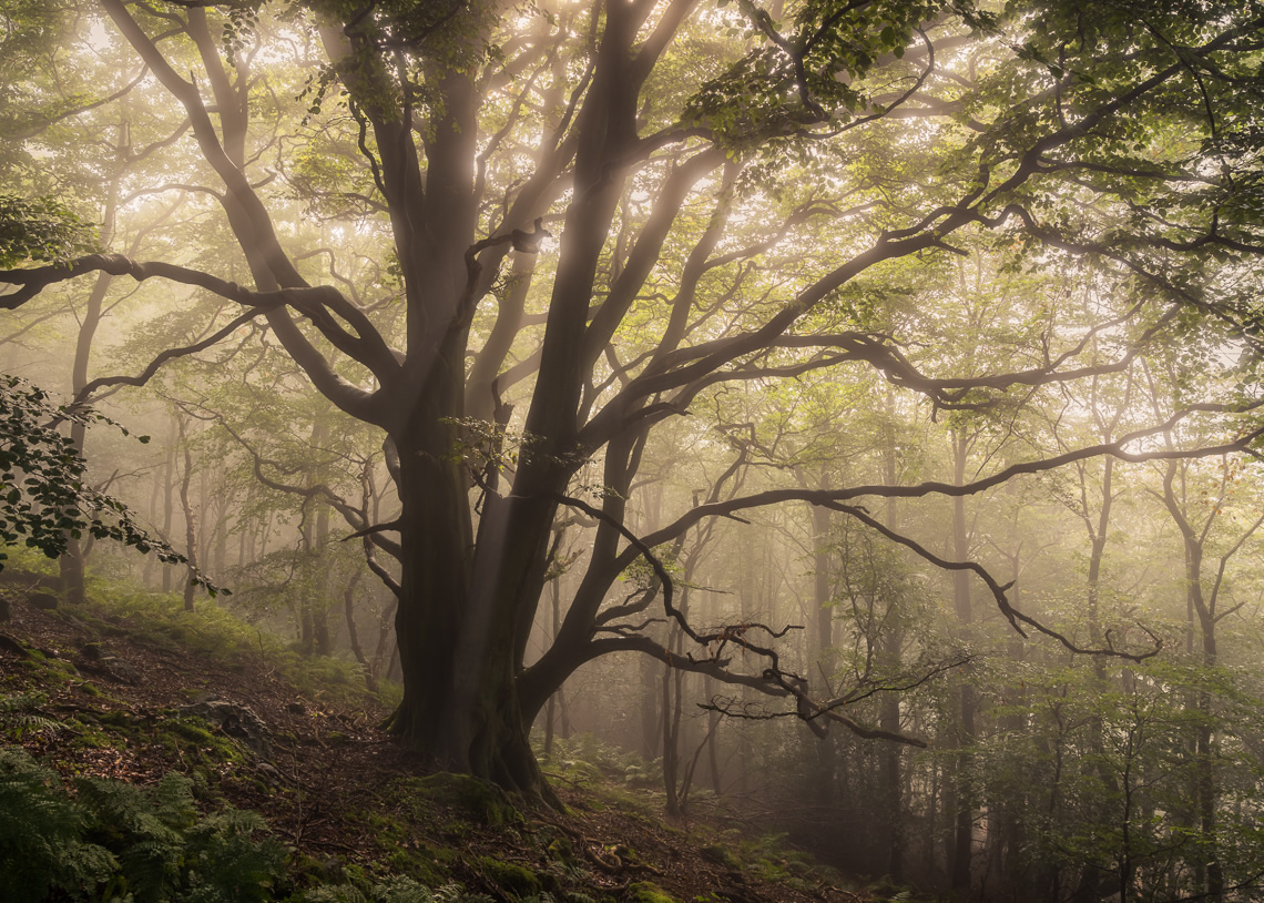 Early autumn beech tree and mist