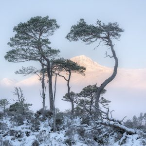 A family of Scots Pine in the Caledonian Forest